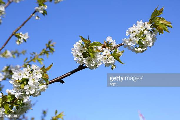 White cherry blossom flowers at spring time