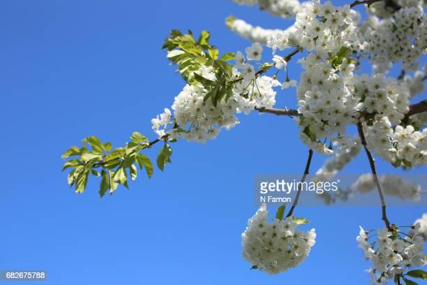 White cherry blossom with bright blue sky
