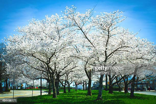white cherry blossoms - xuan che stock pictures, royalty-free photos & images