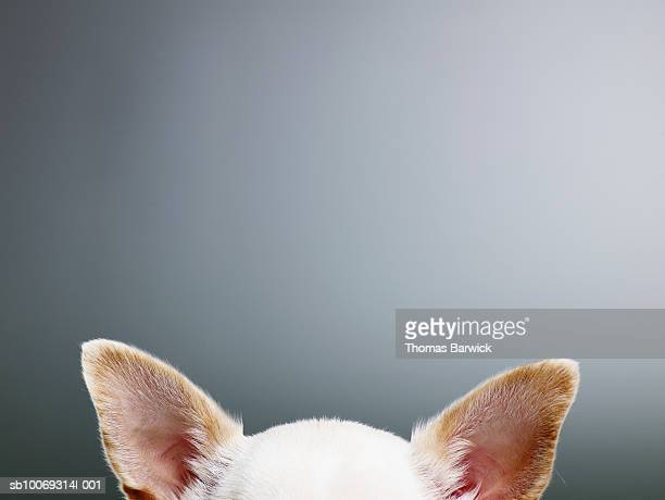 white chihuahua ears, close-up, high section - ear stock pictures, royalty-free photos & images