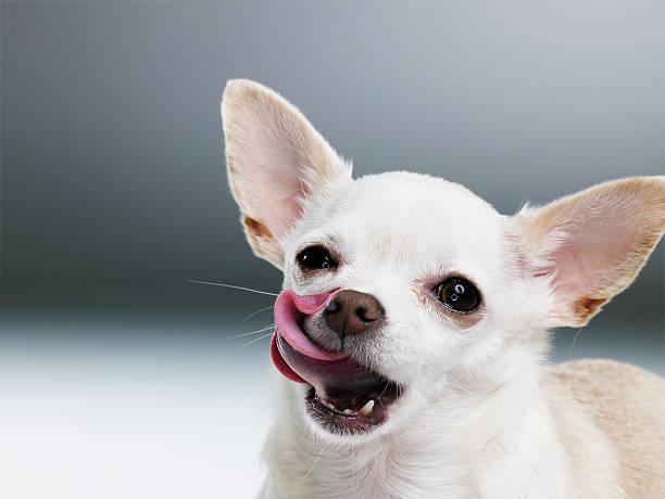 White Chihuahua licking lips, close-up, portrait