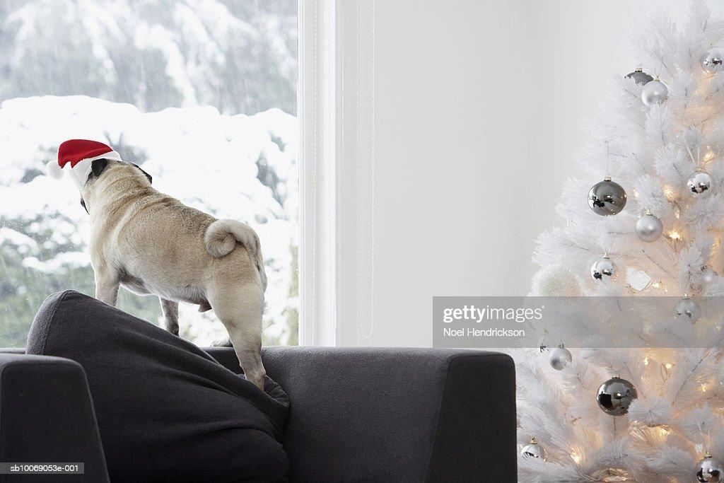 White Christmas tree and pug dog on sofa looking through window : Stockfoto