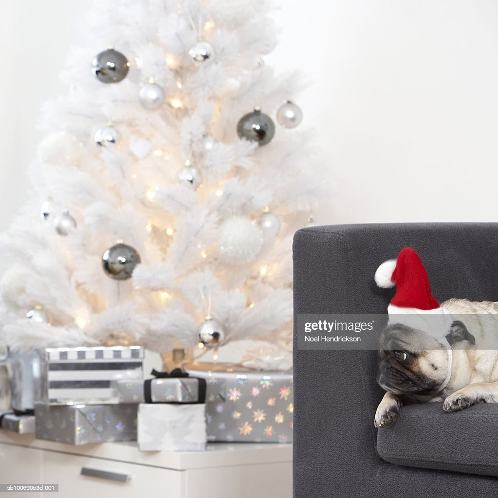 White Christmas tree with silver ornaments and gifts, pug dog on sofa : Stockfoto