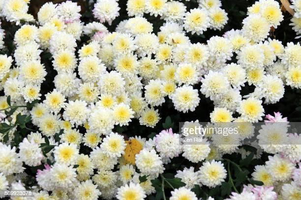 White Chrysanthemum, also called Mums or Chrysanths