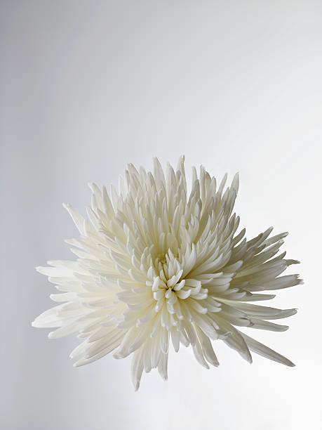 A White Chrysanthemum, Close-up Wall Art