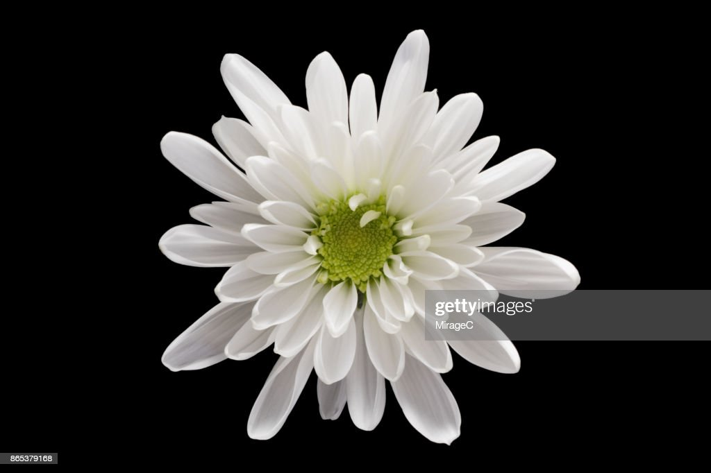 White chrysanthemum flower on black background stock photo getty white chrysanthemum flower on black background stock photo mightylinksfo