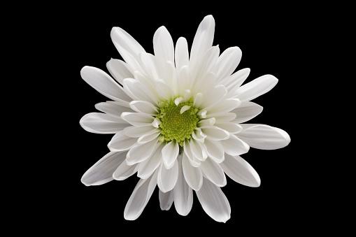 White Chrysanthemum Flower on Black Background - gettyimageskorea