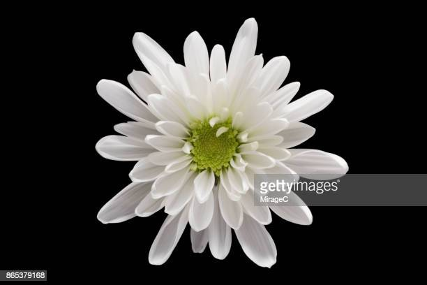 White Chrysanthemum Flower on Black Background