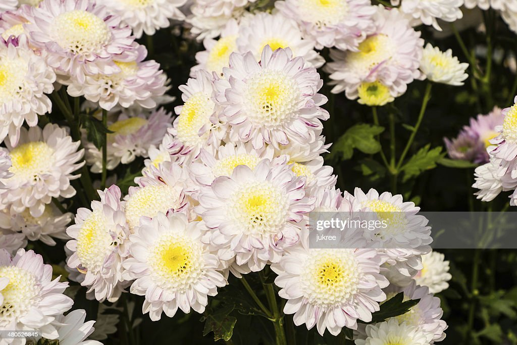 White Chrysanthemum flowers : Stock Photo