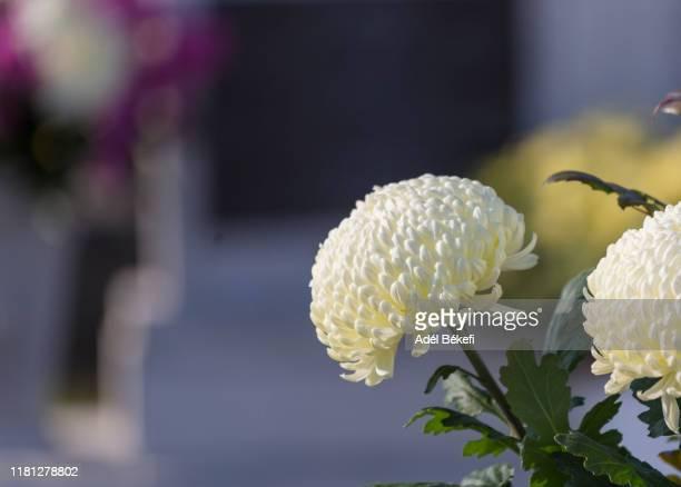white chrysanthemum - luto fotografías e imágenes de stock