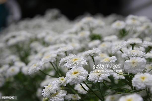 white chrysanthemums blooming outdoors - campbell downie stock pictures, royalty-free photos & images