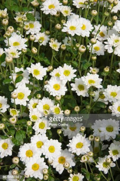 White Chrysanthemums buds and flowers