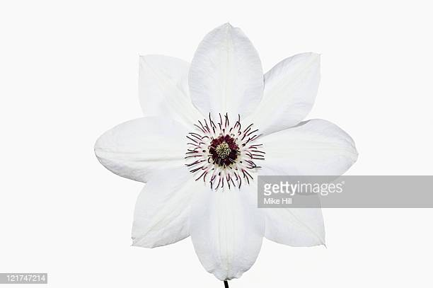 White clematis (Clematis), June