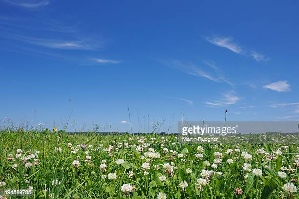 White clover in meadow