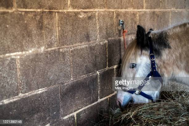 white cob horse standing in stable, eating hay. - herbivorous stock pictures, royalty-free photos & images