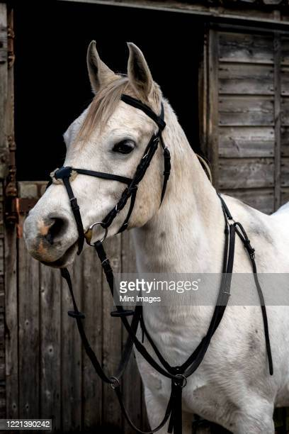 white cob horse standing outside stable. - herbivorous stock pictures, royalty-free photos & images