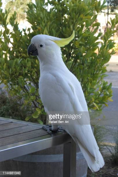 White cockatoo Bird