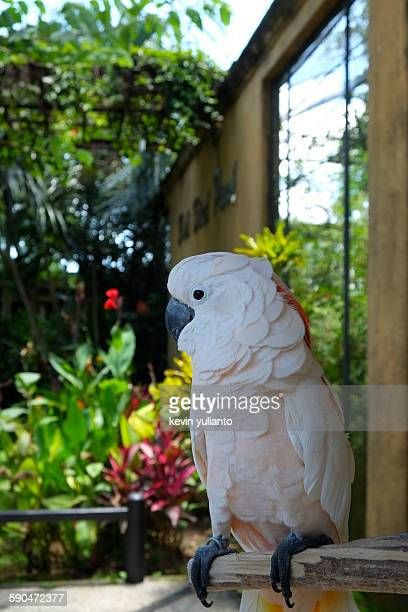 White Cockatoo (Cacatua galleria) on a Branch