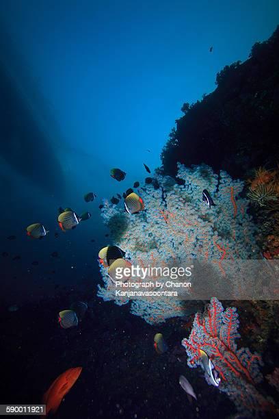 White Collar Butterflyfish,Similan, Thailand