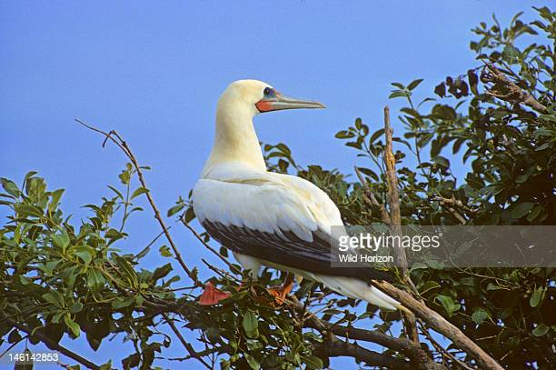 White color morph of the redfooted booby bird Sula sula sula North coast of Mona Island Mona Passage Commonwealth of Puerto Rico USA See PRM0115 the...