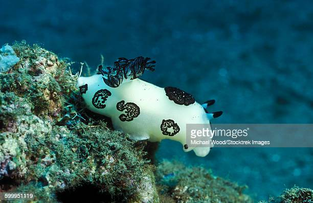 a white colored nudibranch with black feathers and markings, papua new guinea. - mollusca stock photos and pictures