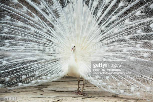 White colored peacock