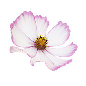 single white cosmos flower with petals
