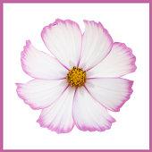 single white cosmos flower petals edged