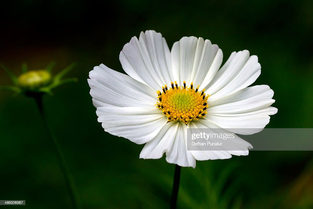 White Cosmos Flower Stock Photo Getty Images