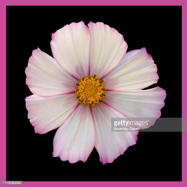 white cosmos flower, pink edged petals, on black with border. - black border stock pictures, royalty-free photos & images