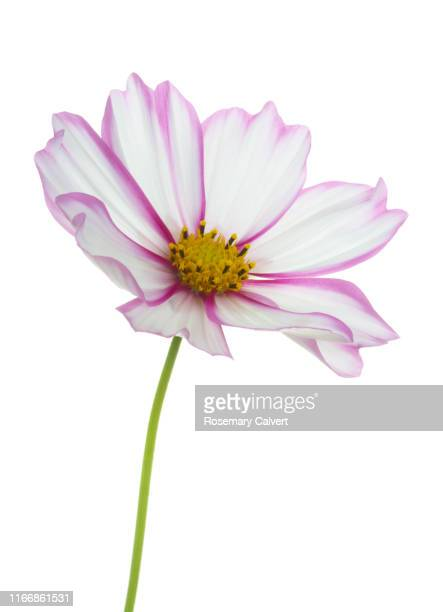 white cosmos flower with bright pink edged petals, on white. - silhouette stock pictures, royalty-free photos & images