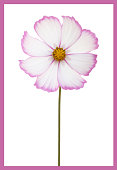 single white cosmos flower with pink
