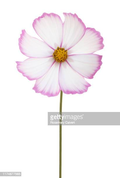 white cosmos flower with pink edged petals and stem. - fragility stock pictures, royalty-free photos & images