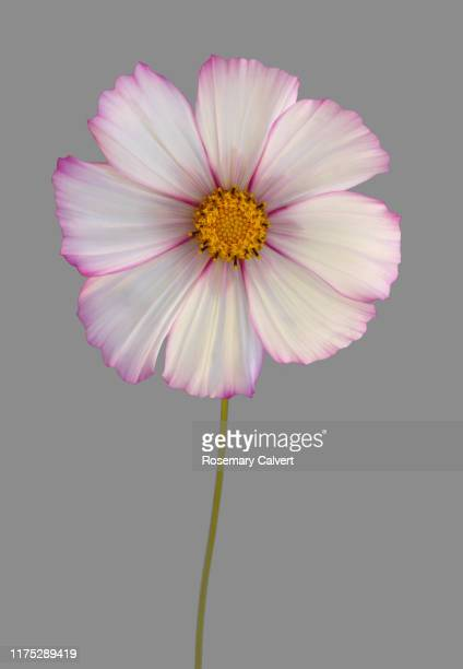 white cosmos flower with pink edged petals, on grey. - pink stock pictures, royalty-free photos & images