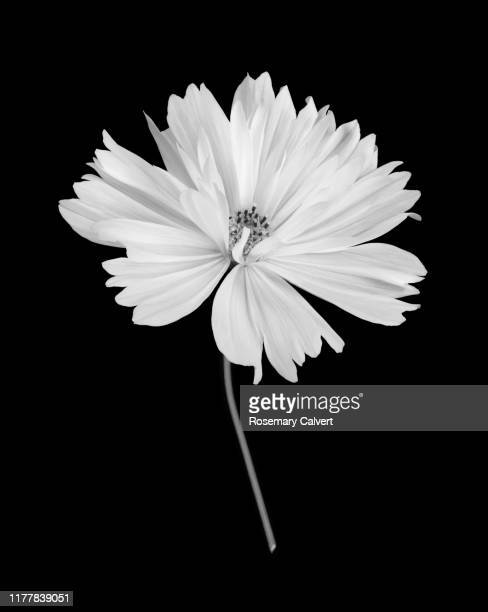 white cosmos flower with stem in black & white on black. - black and white stock pictures, royalty-free photos & images