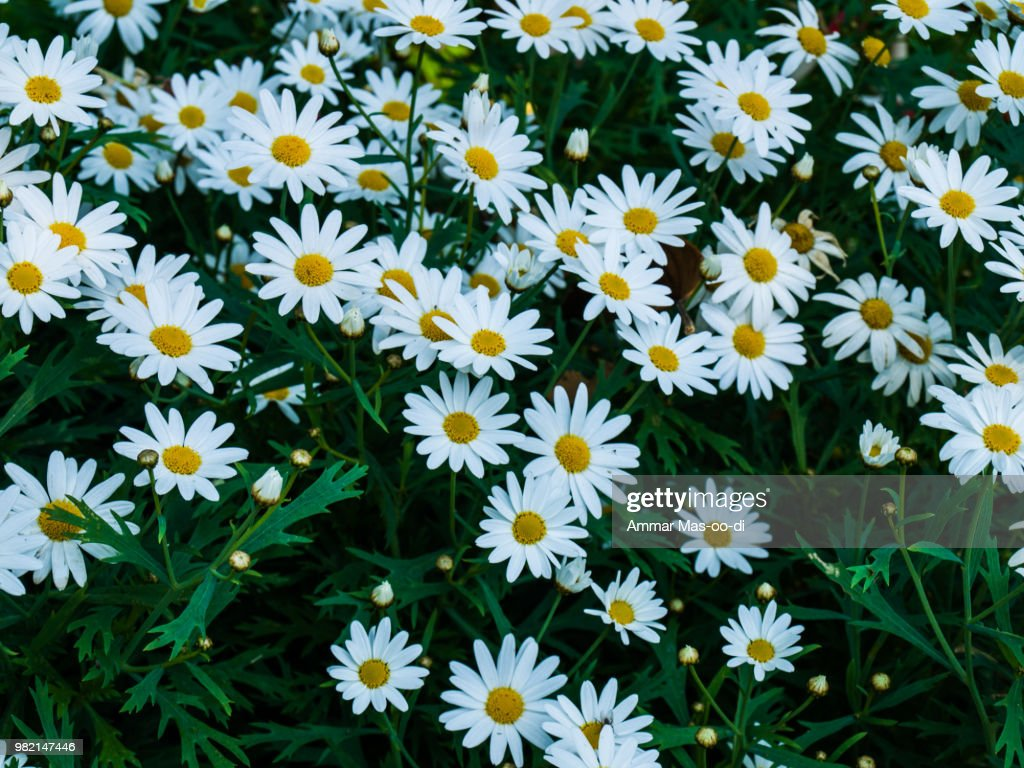 White Cosmos Flowers In Nature Stock Photo Getty Images