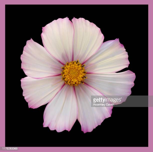 white cosmos, pink edged petals, on black with pink border. - black border stock pictures, royalty-free photos & images