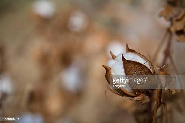 white cotton boll on plant when ready to harvest - terryfic3d stockfoto's en -beelden
