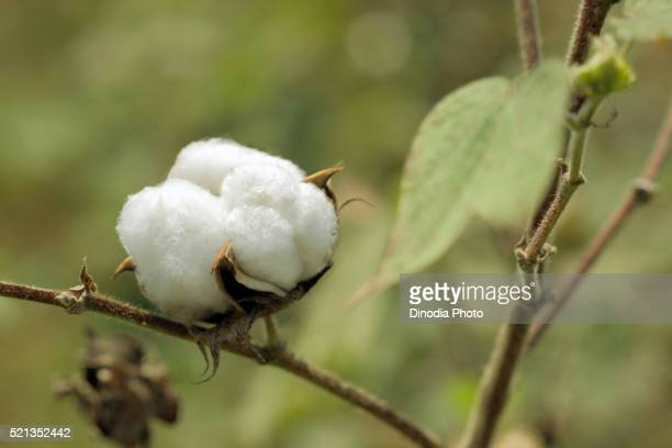 White, cotton bulb on the plant in the field