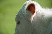 white cow head