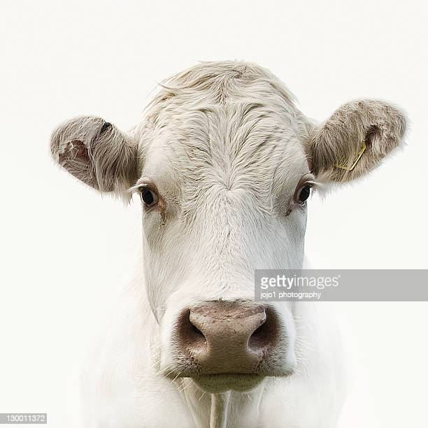 white cow - dairy cattle stock pictures, royalty-free photos & images