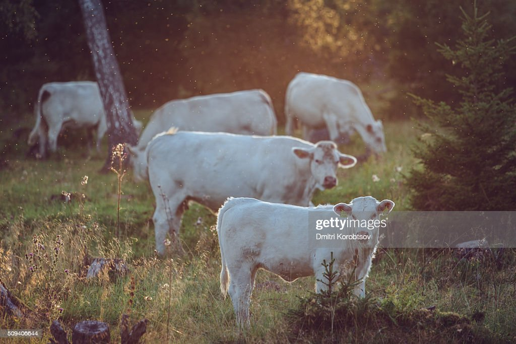 White cows feeding on a forest glade on Åland islands in Finland : Stock Photo