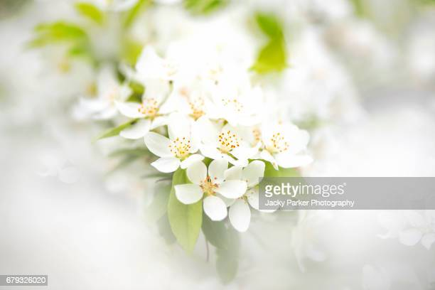 White Crab Apple Blossom - Malus Transitoria