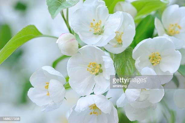 White crab apple flowers