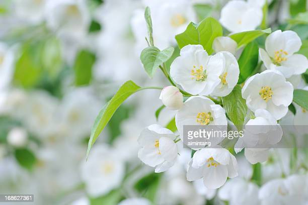 white crab apple flowers - apple blossom stock pictures, royalty-free photos & images