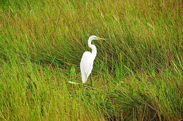 white crane on grassy field during sunny day - white crane bird stock pictures, royalty-free photos & images