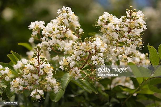 White Crape Myrtle Tree Blossoming in Summer Heat