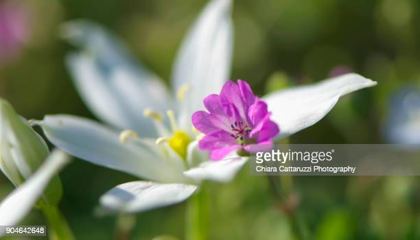 White crocuses flowers