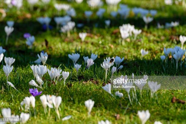 White crocuses in bloom on the banks of the River Wensum in the centre of Norwich in the St James Quarter of the City on February 26 2019 in Norwich...