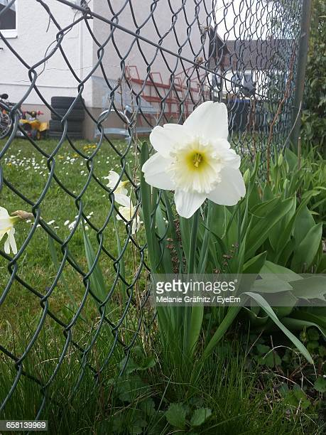 White Daffodil Flower Blooming On Field By Chainlink Fence